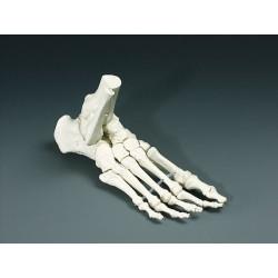 Pied de squelette en plastique