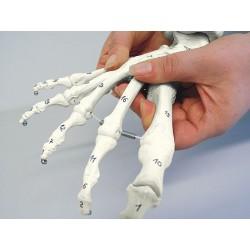 Squelette du pied flexible