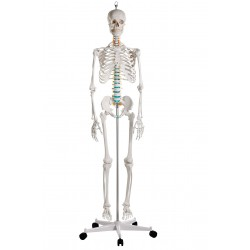 Squelette en plastique